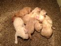 Goldendoodles Born 9-20-13 for Sale|Iowa Breeder located near Minnesota|Puppies ready soon!