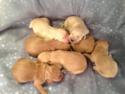 Golden Goldendoodles for sale|Puppies Born April 17th 2013|Ready June 2013|Also-Dark red Mini Goldendoodles will be born soon!