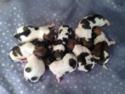 Teddy bear shih tzu Bichon Puppies for sale|Eight puppies for sale|Sable and white|Ready July 2013