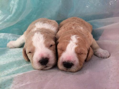 F1b Parti Colored Apricot and White Miniature Goldendoodle Puppies for Sale