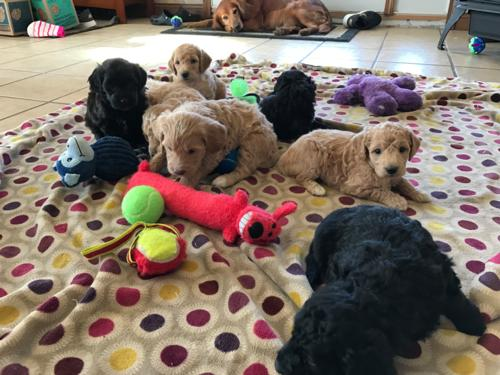 Parti colored mini goldendoodles for sale