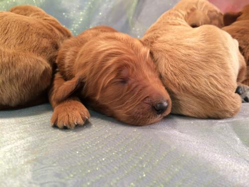 Red and Apricot Goldendoodle puppies for sale,IA,MN,IL,WI.