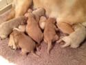 Labradoodle Puppies for sale|Ready April 2014|Professional Breeder of Labradoodles|