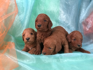 Dark Red Miniature Goldendoodle Puppies for Sale, Iowa Breeders!