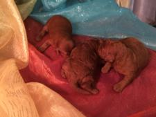 Professional Dark Red Mini Goldendoodle Breeders Located in Iowa