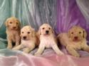 Standard Poodle Puppies Born 8-1-14 $675. Iowa Breeders with Puppies Ready at the End of September 2014