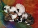Male Shih Tzu Puppies for Sale $675  Located Near Joice Iowa 50446.  Great Teddy Bear Breeder for Buyers in WI, IL, MN, and IA!