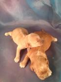 Red and Buff Cockapoos for sale in North Iowa|Puppies ready soon!