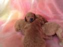 Male and Female Dark Red Labradoodle Puppies for Sale $750