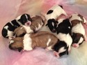 Shih tzu Bichon Puppies for sale Born July 17, 2012