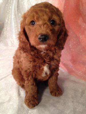 Dark Red Male Mini Goldendoodle Puppy For In Iowa Looking Breeders Illinois Or Try S Top Dog Breeder