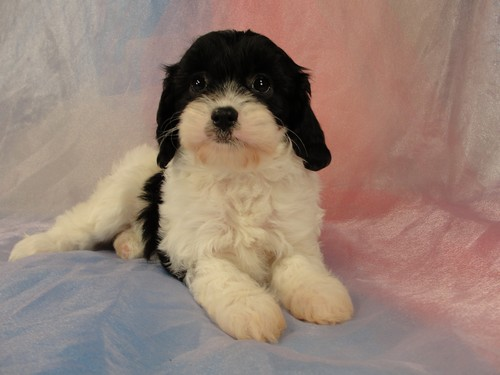 Male cavachons for sale Iowa Breeder 2012 puppies
