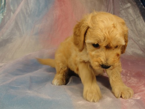 Male Bichon Poodle Puppy for sale #3 Born February 5, 2012 2