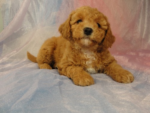 Female Bichon poodle Puppy for sale #1 Born February 5, 2012 5