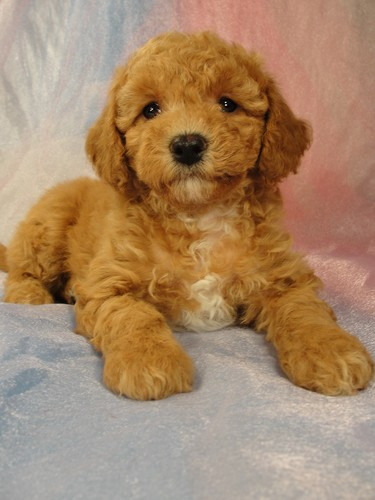 Female Bichon poodle Puppy for sale #1 Born February 5, 2012