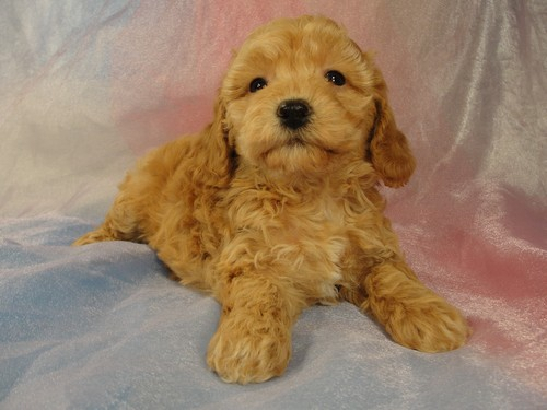 Female Bichon Poo puppy for sale #2 Born February 5, 2012 2