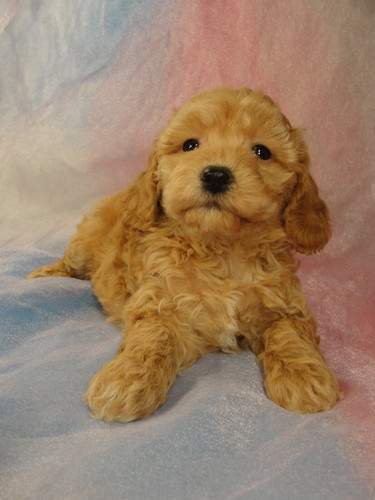 Female Bichon Poo puppy for sale #2 Born February 5, 2012