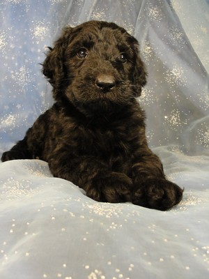 Female Giant schnoodle puppies|Iowa breeder with a puppy sale 2012