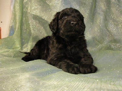 Female Giant Schnoodle Puppies For Sale In Iowa 2012 1000