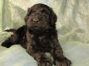 Female schnoodles for sale|Giant schnoodle sale $1000|Iowa breeder