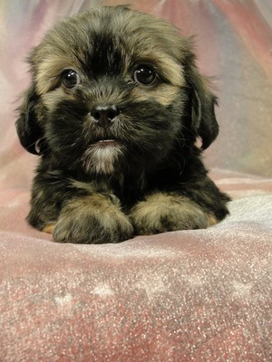 Female Lhasa Bichon pup for sale Ready July 2012