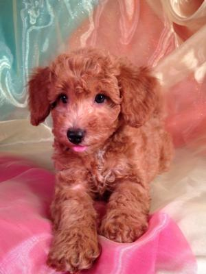 Red Male Bichon Poo for sale #1 DOB 3-1-15 Bichon Poodle Breeders with Reds Located in North Iowa.  Great for IL, WI and MN Buyers!