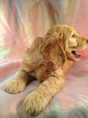Red Male Mini Goldendoodle Puppy for sale DOB 10/13/15 $1500 3