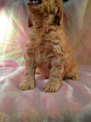 Red Male Mini Goldendoodle Puppy for sale DOB 10/13/15 $1500 4