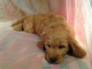 Red Male Mini Goldendoodle Puppy for sale DOB 10/13/15 $1500 5