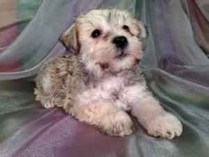 Male Schnoodle Puppy for sale #9 Born 9-1-13|Boston Massachusetts is an easy city to receive Schnoodles in|Schnoodle pups for sale can fly for $150