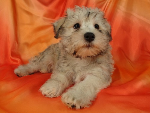Female Schnoodle puppy for sale #21 Born November 25, 2011