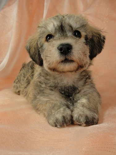 Female schnoodle puppy for sale #17 Born November 9th, 2011