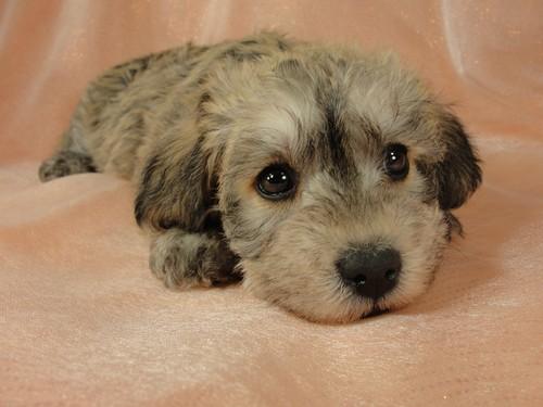 Schnoodle puppies for sale | Iowa breeder
