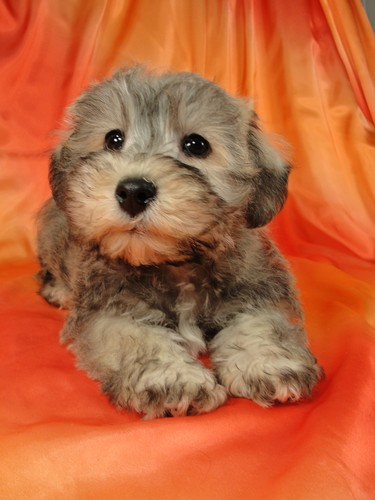 Pin Adult Shichon Dogs Image Search Results on Pinterest