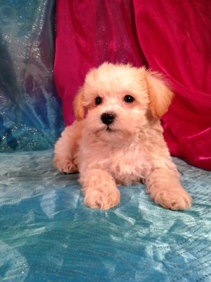 Male Apricot Miniature Schnoodle Puppy for sale #1 DOB 2-22-15 Ready Now! Professional Breeders of the Schnoodle!