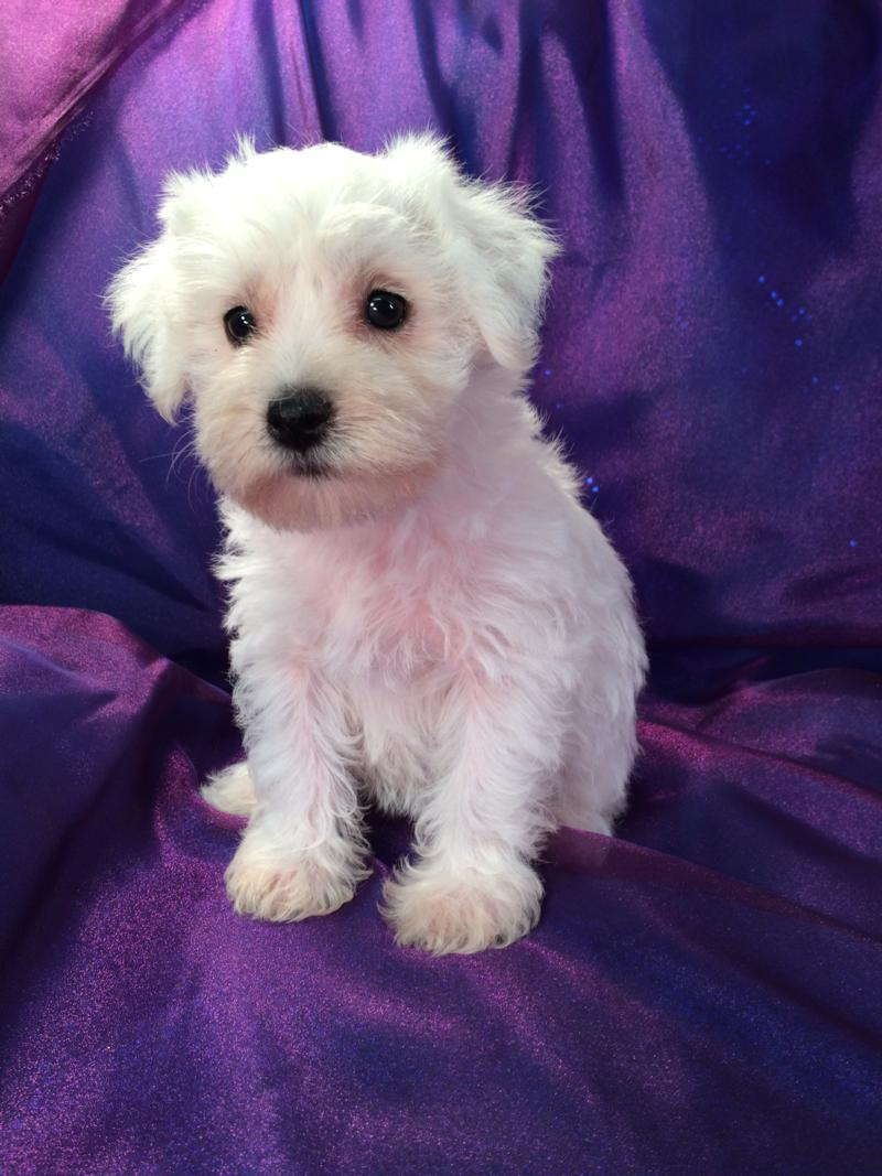 Schnoodle puppies for sale- White female schnoodle-individual picture