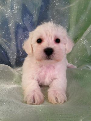 White Schnoodle Puppy for sale in Iowa #12 DOB 10-16-14 Female puppies will can travel to Minnesota, Wisconsin, and Illinois soon!