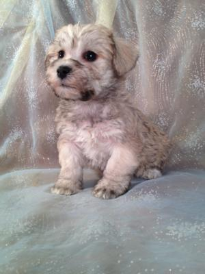 Male Schnoodle puppy for sale #20 Ready February 2014 Breeding Schnoodles for over 20 years! Iowa's favorite Breeder!