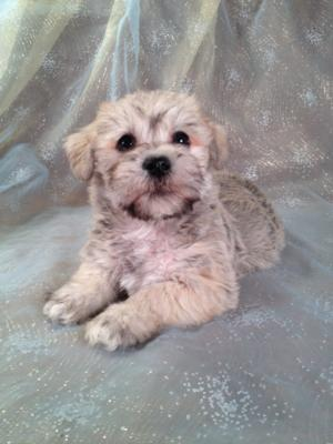Male schnoodle Puppy for sale #21 Born December 5th 2013. Breeders in California and New Hampshire who would like to breed 2nd generations are welcome!