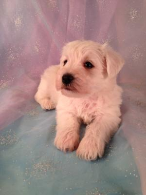 Male Schnoodle Puppy for sale #3 DOB 3-26-13 Looking for Schnoodle puppies for sale? We have several schnoodle litters now!