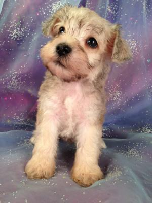 Male Schnoodle Puppy for sale #5 Born June 3rd. Schnoodle Breeders in Minnesota and Illinois are welcome at Purebredpups!