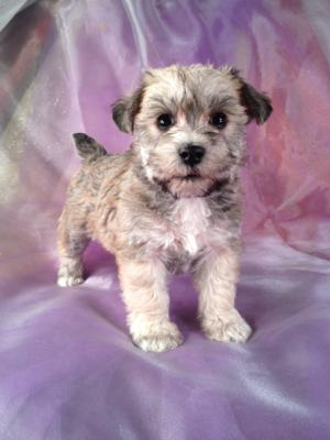 Female schnoodle #18 Puppy sale DOB 12-5-13 Schnoodles for sale at a lower Price|Top Quality schnoodle Breeder