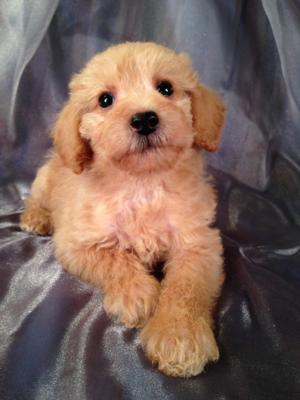 Male schnoodle Puppy for sale #18 Born Oct. 1, 2013  Schnoodle Puppies can fly to buyers or Breeders in California, Florida, Pennsylvania, North Carolina and More for only $150!