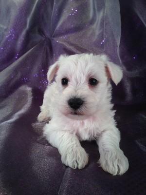 Schnoodle Puppy for sale #17 Born Feb. 22, 2013 Iowa Schnoodle Dog