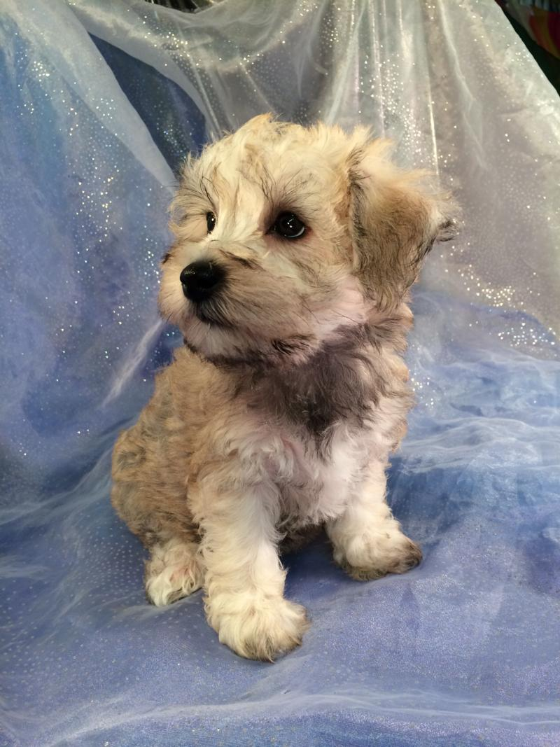 Schnoodle pup for sale in Iowa