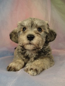 Male schnoodle puppy for sale #28 Born March 20th 2012 4
