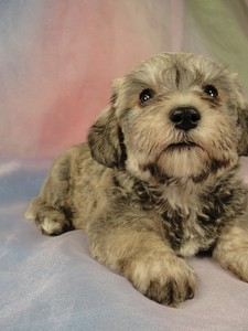 Male schnoodle puppy for sale #28 Born March 20th 2012 3