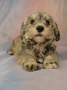Male schnoodle puppy for sale #28 Born March 20th 2012 2