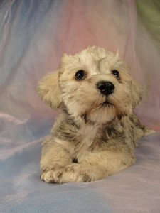 Male schnoodle pup 2