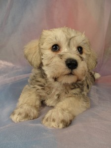 Male schnoodle pup 4